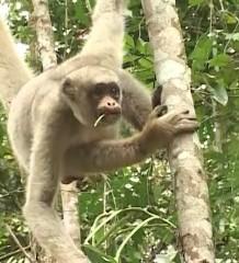 Muriqui: maior primata das Américas